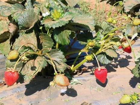Des fraises toute l'année ?! C'est pour bientôt en Israël