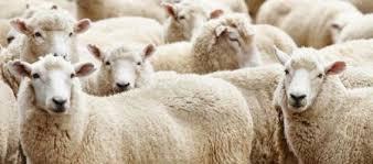 Moutons pour la fête du sacrifice
