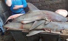 Israël: des requins dans la vieille ville de Jérusalem