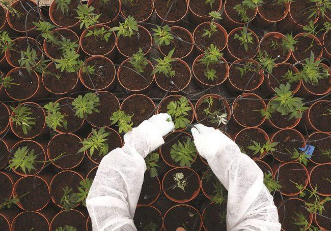 La marijuana médicale peut-elle ressusciter les kibboutz israéliens?