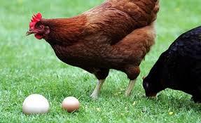 Ce qui est certain, c'est que les poules, elles, n'y sont pour rien