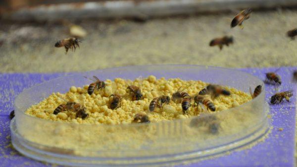 Les abeilles mangent le pollen de leur choix au Centre israélien Benjamin Triwaks Bee Research