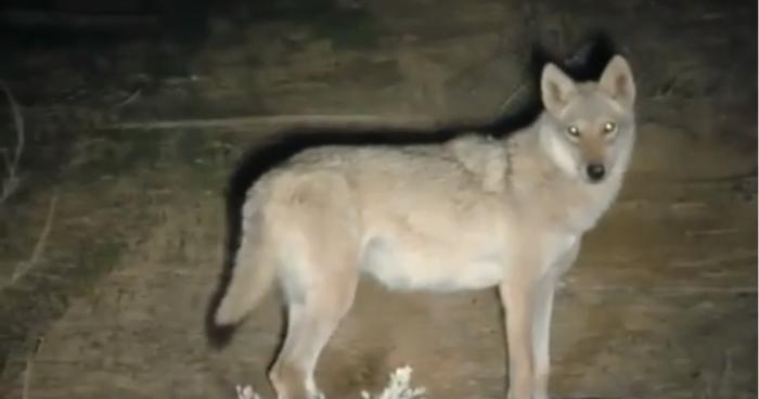 Les gardes forestiers israéliens courent après le grand méchant loup