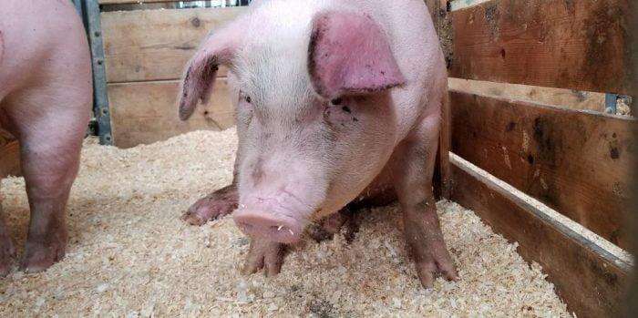 Des porcs israéliens pour la recherche médicale de pointe