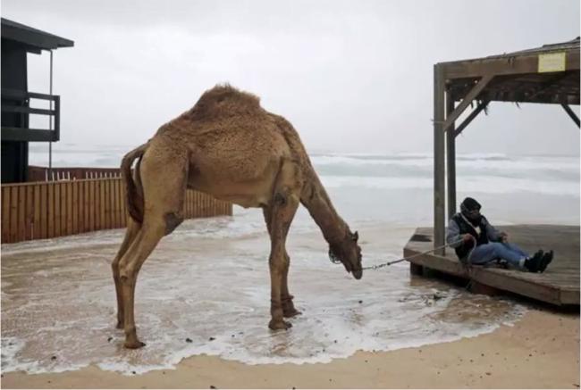 Israël: un projet de loi visant à prévenir les accidents de chameaux