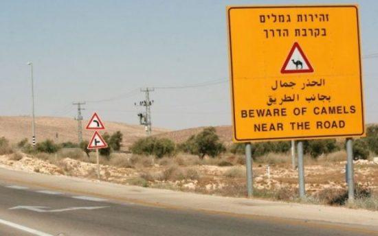 Attention aux chameaux