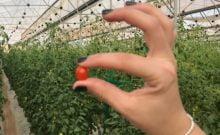 La plus petite tomate du monde est israélienne