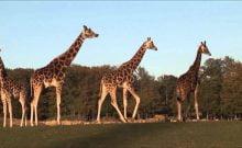 La girafe est-elle une viande kasher?