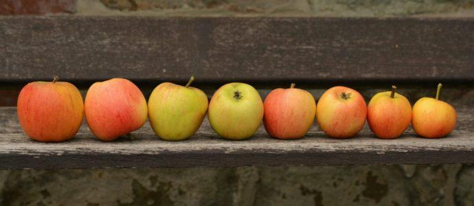 Des chercheurs israéliens transforment des pommes moches en Superfood