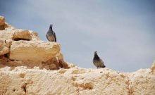 Recherche israélienne: le rôle des pigeons dans le Néguev il y a 1 500 ans