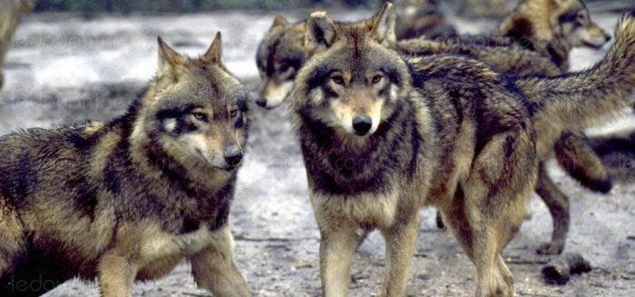 Des fermiers payés pour tuer les loups israéliens