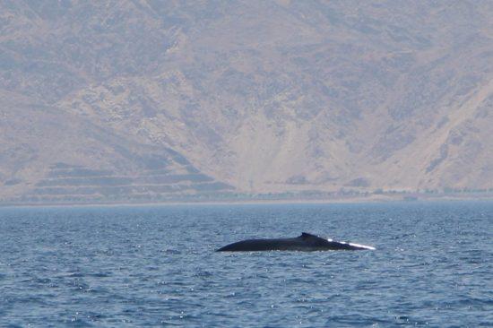Une baleine dans le golfe d'Eilat