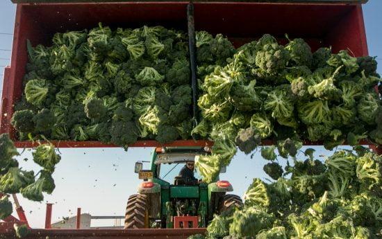 Les travailleurs cueillent du brocoli dans la vallée de Jezreel en Israël. Photo par Anat Hermony / FLASH90