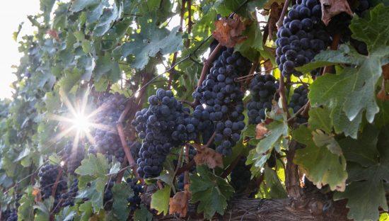 Les raisins poussent au vignoble de Tel Fares dans les hauteurs du Golan. Photo de Maor Kinsbursky / FLASH90