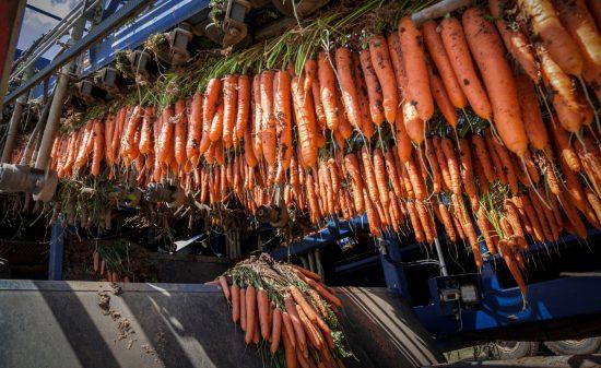 Carottes récoltées dans la vallée de Jezreel en Israël. Photo par Anat Hermony / FLASH90