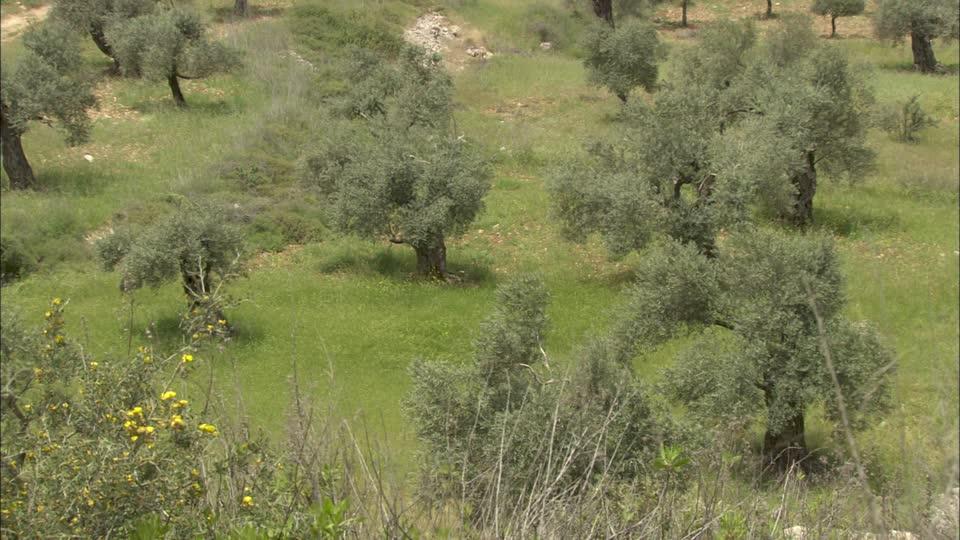 ISRALAND vend une oliveraie dans le nord d'Israël