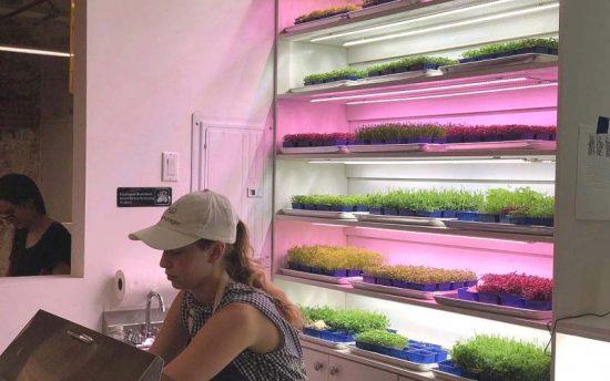 Des micro-végétaux prêts à être récoltés derrière le comptoir du Harvest2Order / Crédit photo: avec la permission de Harvest2Order