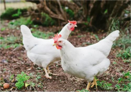«Nous aimons aussi les poulets et nous aurons des poulets», a déclaré Tracy.