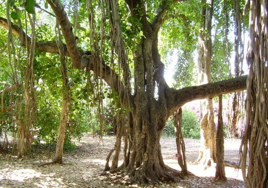 Le «Carl Netter Ficus» bien-aimé de Mikve Yisrael a des racines aériennes si immenses qu'elles ressemblent à des troncs d'arbres. Photo via Pikiwiki
