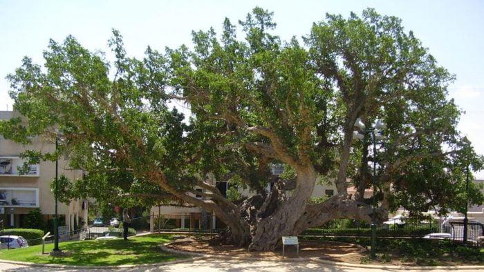 Israël: le trajet du tramway de Jaffa modifié pour préserver 26 arbres centenaires