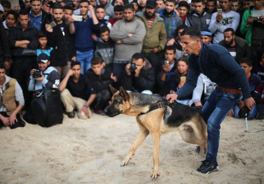 combat de chiens en Judée Samarie