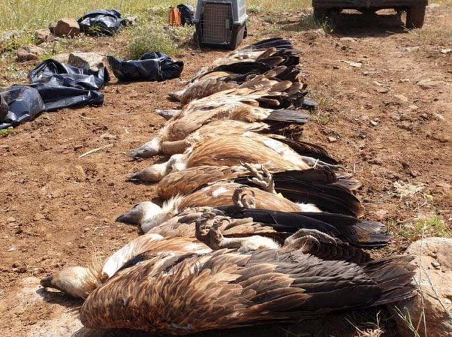 Israël: un suspect arrêté dans l'affaire de l'empoisonnement des vautours du Golan