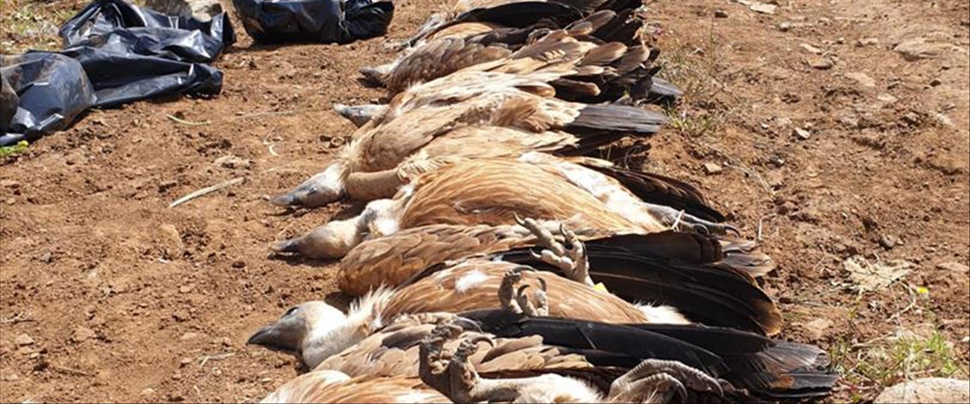 Aigles du Golan ont été empoisonnés