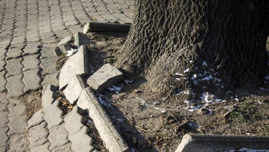 Les racines des arbres cassent les trottoirs car elles n'ont nulle part où se développer. Photo de Heroc / Shutterstock.com