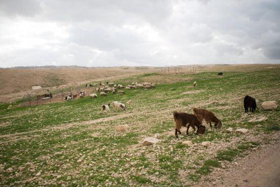 Des moutons et des chèvres broutent les alpages d'Israël au printemps © Yevgenia Gorbulsky / Alamy Banque d'images