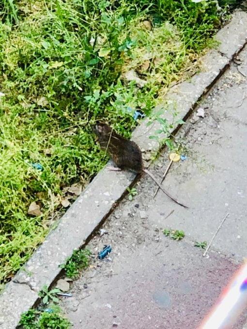 Les rats à Bat-Yam provoquent des incendies