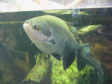 Un pacu, terme commun utilisé pour désigner différentes espèces de poissons dulçaquicoles vivant en Amérique du Sud et apparentés aux piranhas, mais herbivores ou omnivores.