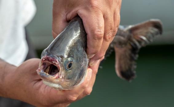 Israël: un poisson prédateur dans la mer de Galilée?