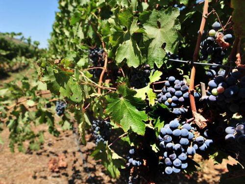Prochaines victimes : les vignobles israéliens