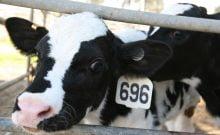Réguler les gaz à effet de serre des bovins par une manipulation israélienne des gènes