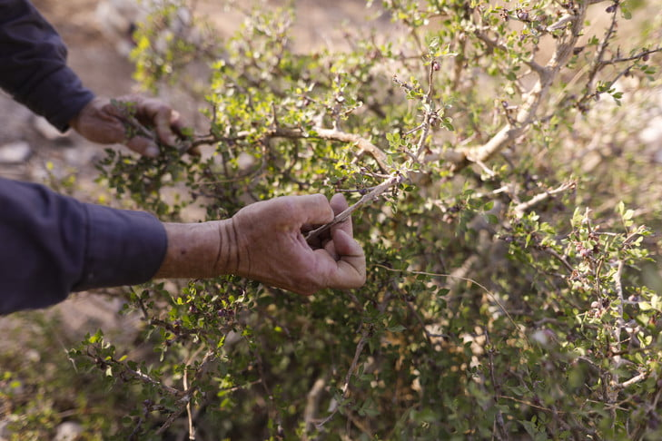 To Go With AFP Story By Michael Blum.  Israeli farmer Guy Erlich inspect the Persimmon (balsam) tree plantations at his farm near his Kibbutz Almog settlement locate at the Judean desert in the West Bank near the Dead Sea on May 28 2019 . Guy Erlich is growing ancient plants mentioned in the Bible on his attempt to revive those plants once used to make perfumes and natural medicines.