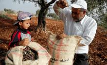 Un Palestinien ferme un sac contenant des olives fraîchement cueillies, tandis qu'un garçon regarde, pendant la récolte dans une ferme à Tubas, en Cisjordanie; 19 octobre 2018. (crédit photo: RANEEN SAWAFTA / REUTERS)
