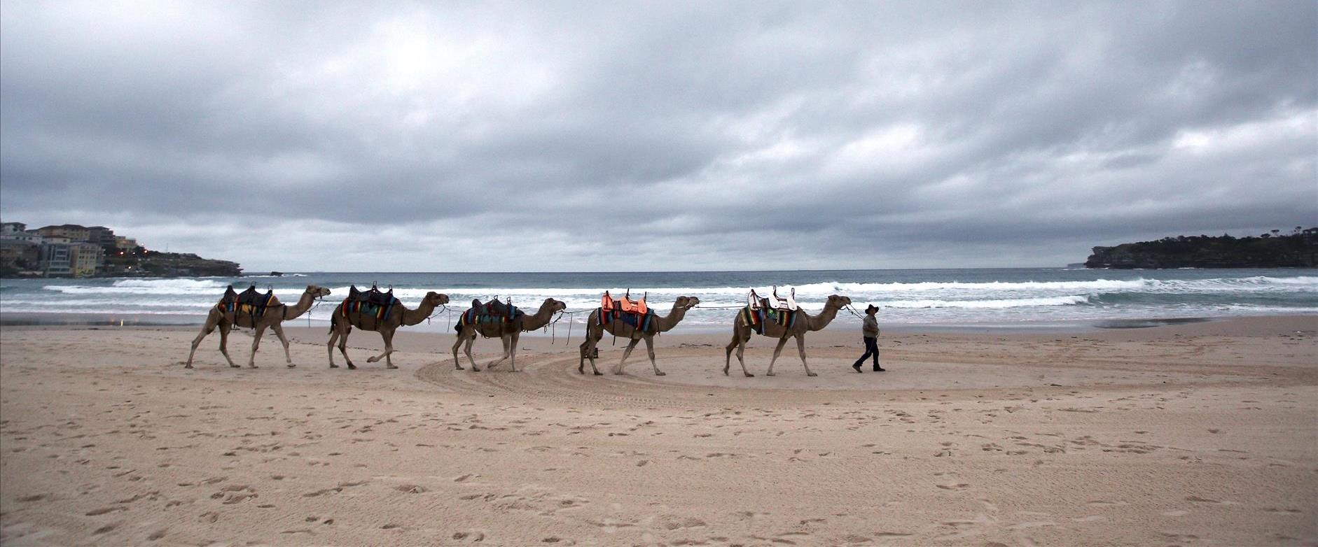 Australie : dix milles chameaux vont être abattus ils seraient responsables de  la sécheresse