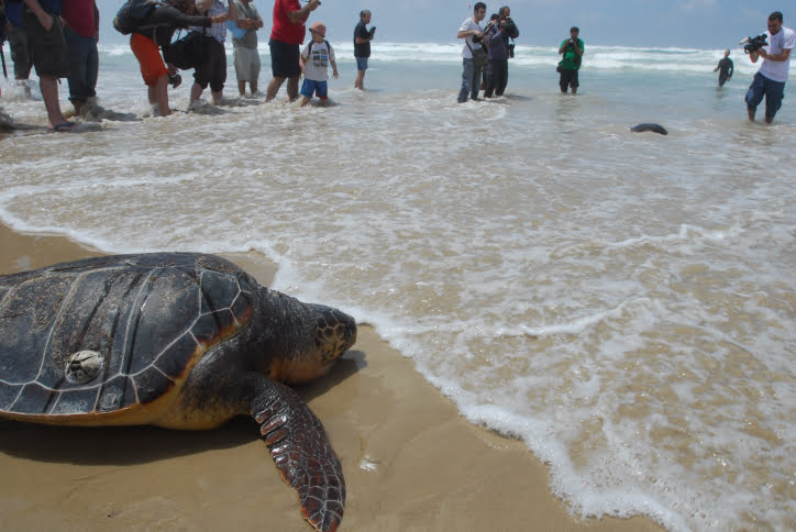BEIT YANAI, ISRAEL - MAY 5, 2009: Rehabilitated sea turtles are getting back into the sea after being released by members of the national center for saving sea turtles. The national center for saving sea turtles of the Israel Nature and Parks Authority has release today 7 sea turtles that were saved and rehabilitated in Beit Yanai beach. Photo by Gili Yaari / Fash 90. *** Local Caption *** äîøëæ ìäöìú öáé éí äçáøä ìäâðú äèáò øùåú äèáò åäâðéí öá éí çåó ñáéáä èáò à÷åìåâéä éøå÷