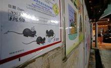 Les rats de Hong-Kong porteur d'un virus dangereux transmissible à l'homme