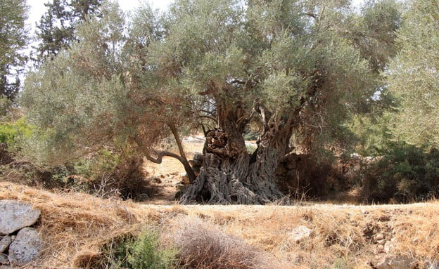 L'oliveraie où aurait été enterré le corps du sorcier