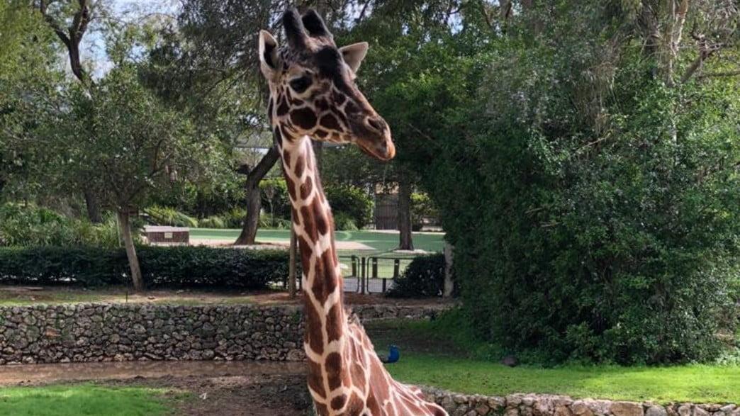 Denisa, la girafe la plus âgée du monde est décédée, hier, en Israël