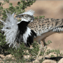 Un oiseau outarde houbara en Israël. Photo par le Dr Haim Shohat / Flash90.