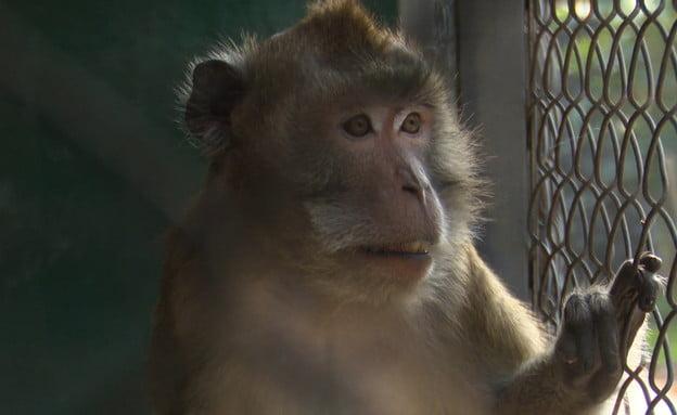 Les singes d'Israël sauvés des laboratoires expérimentaux mais pas de la captivité -vidéo-
